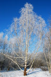 Birch trees under snow. At a sunny winter day Royalty Free Stock Photo