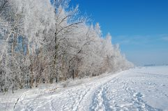 Birch trees under snow. At a sunny winter day Stock Image