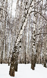 Birch trees in urban park Stock Photography