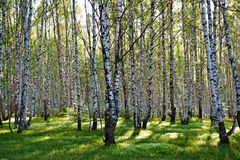 Birch trees view. Birch forest on a bright sunny day Royalty Free Stock Image