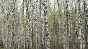 Birch trees wall Stock Images