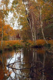 Birch trees at the water royalty free stock photo