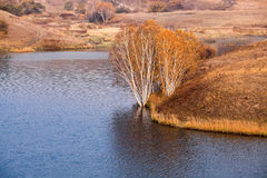 Birch trees at waterside in autumn Royalty Free Stock Images