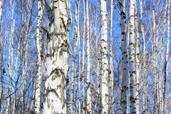 Birch trees with white bark Stock Photo