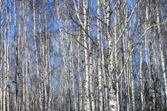 Birch trees with white bark Royalty Free Stock Photography