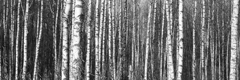 Birch trees with white bark Royalty Free Stock Photo