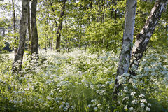 Birch trees and white Cow parsley in spring. In evening sunshine royalty free stock images
