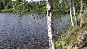 Birch trees in the wind on the bank of the pond. stock footage