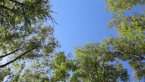 Birch trees on the wind. Bottom-up view of birch tree tops swinging on the wind stock video footage
