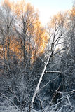 Birch trees in winte Stock Image