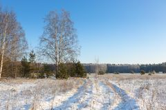 Birch Trees in the Winter. Royalty Free Stock Images