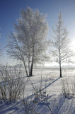 Birch trees in winter against a blue sky with a sun Stock Photos