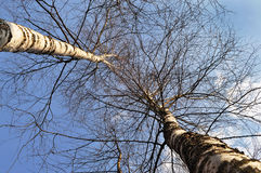 Birch trees in winter. Bircs trees in winter on blue sky background stock photo