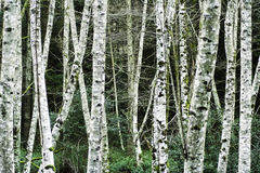Birch trees in winter. Close shot of white birch trees in winter time in Bowen Island, Vancouver, BC, Canada Royalty Free Stock Photo