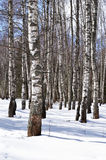 Birch trees in winter forest Royalty Free Stock Images