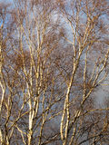 Birch trees in winter Stock Photos