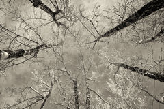 Birch Trees in Winter. Looking up at a snow covered grove of white birch trees Royalty Free Stock Photos