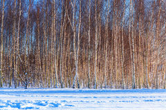 Birch trees at winter season Stock Image
