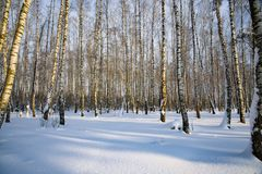 Birch trees in the winter in the snow royalty free stock image