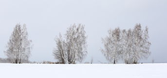 Birch trees in winter Stock Photos