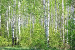 Birch Trees With Green Leaves In Summer Royalty Free Stock Image