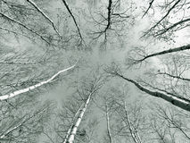 Birch trees in wood. Low angle view of birch trees in wood looking up to tree tops from ground Stock Image