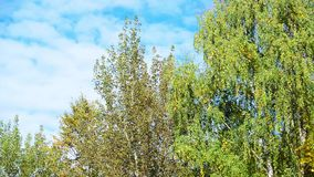 Birch trees with yellow and green leaves swaying in wind. Birch trees with yellow and green leaves swaying in the wind stock footage