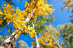 Birch trees with yellow leaves in autumn forest Stock Image