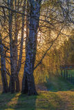 Birch trees with young foliage. On a background sunset Stock Image