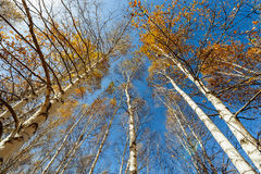Birch treetop Stock Photo