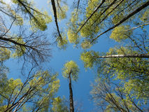 Birch treetops and blue sky Royalty Free Stock Photos