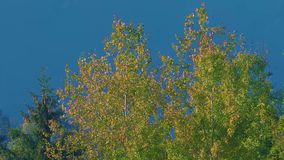 Birch treetops in mixed deciduous and coniferous forest on sunny autumn day