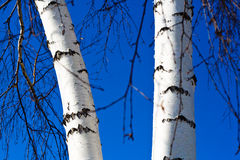 Birch trunk. Two trunks of birch against the blue sky Royalty Free Stock Image