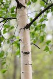 Birch trunk. The first foliage at a birch. Spring Royalty Free Stock Images