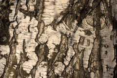 Birch trunk Royalty Free Stock Photography