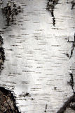 Birch trunk bark. White birch trunk bark close-up Royalty Free Stock Photos