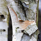 Birch trunk with black and white bark, abstract background textu. Re, closeup, selective focus, narrow depth of field Stock Photography