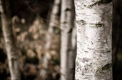 Birch trunk on blur background. Royalty Free Stock Photos