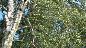 Birch trunk and branches with leaves in wind background. Tree birch trunk and branches with leaves in wind nature background stock video footage