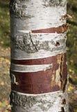 Birch trunk  close up Stock Photos