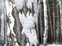 Birch trunk with contrast bark. Stock Photo