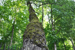 Birch trunk covered with moss Stock Photos