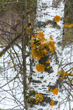 Birch trunk covered with orange lichen. Stock Photos