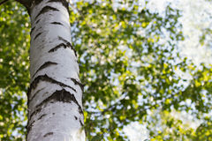 Birch trunk on deciduous background Stock Image