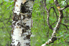 Birch trunk Royalty Free Stock Photo