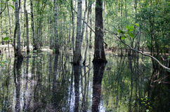 Birch trunk halfway flooded spring flood water Royalty Free Stock Image