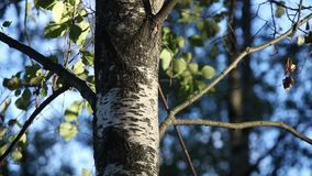 Birch trunk and leaves on the wind stock video