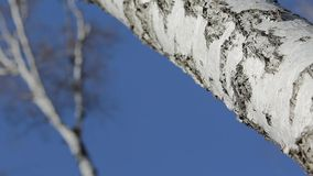 Birch trunk stock footage