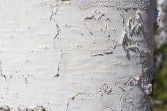 Birch trunk. Photographed closeup  sunlit wood texture Royalty Free Stock Image