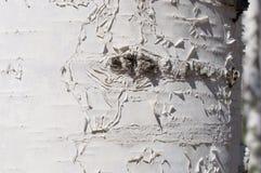 Birch trunk. Photographed closeup wood texture  sunlit Royalty Free Stock Photos